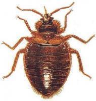 Средства от клопов: препараты для эффективной борьбы с насекомыми