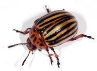 средства от колорадского жука