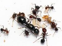 Средства от садовых муравьев